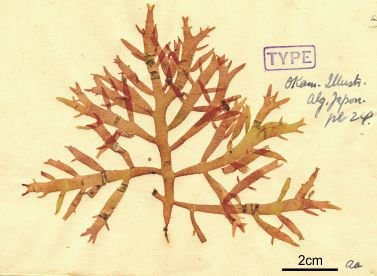the type specimen of Champia bifida Okam.