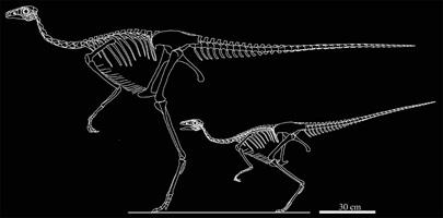 ダチョウ型恐竜 シノオルニトミムス