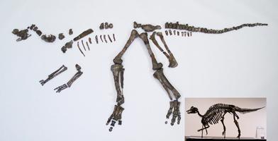 ニッポノサウルスの全身骨格