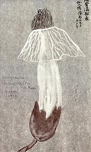 『蝦夷採薬草木図』のキヌガサタケ